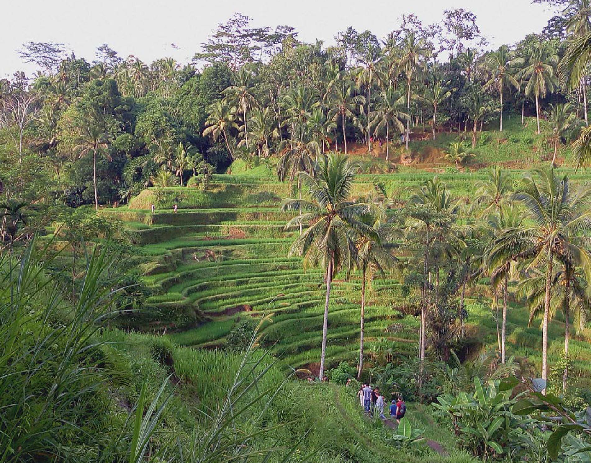 rizières en terrasse de Jatiluwih
